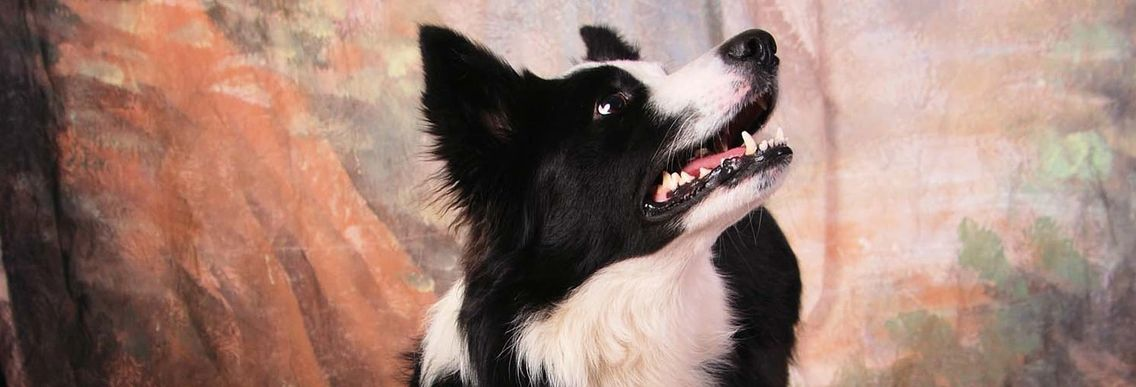 angus, animal, border collie, dog, photo, posed, white and black