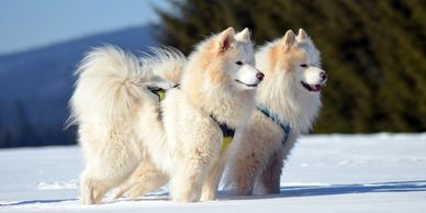 Samoyed Sled Dogs whose undercoat is used in some of our caps and Nekkers