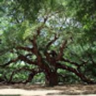 ANGEL OAK TREE  S.C. 400-500 YRS OLD 66.5 FT. TALL 28FT CIRCUMFERENCE. SHADE 17,200 SQUARE FT