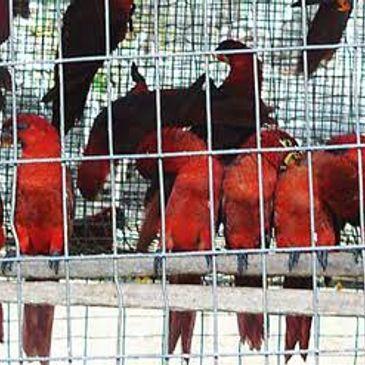 Bird Exporter - Pakistan parrot