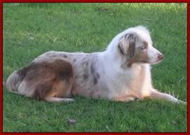 Dedicated to breeding, raising and showing top quality exceptional AKC & ASDR Australian Shepherds
