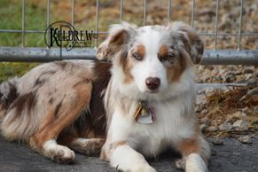 WORTH THE WAIT DANI OF KELDREW RANCH Central Texas Miniature & Toy Aussies For Sale