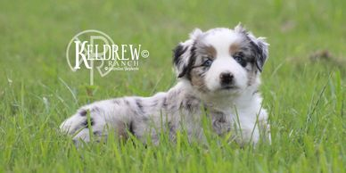 OOPS I DID IT AGAIN OF KELDREW RANCH Central Texas Miniature & Toy Aussies For Sale