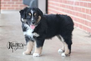TRIPLE S CAN'T HAVE JUST ONE OF KELDREW RANCH Central Texas Miniature & Toy Aussies For Sale