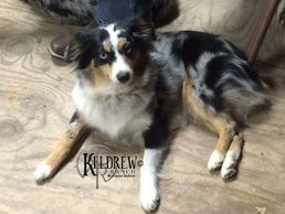 LEXI OF KELDREW RANCH Central Texas Miniature & Toy Australian Shepherd Puppies For Sale