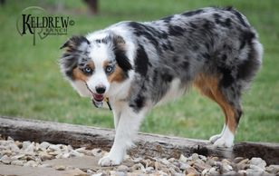 MARTI OF KELDREW RANCH Central Texas Miniature & Toy Australian Shepherd Puppies For Sale