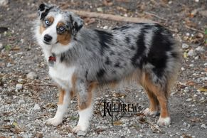 TIMBERLINE OH MICKI YOU'RE SO FINE OF KELDREW RANCH Central Texas Miniature & Toy Aussies For Sale
