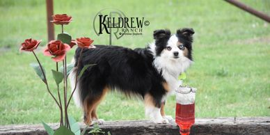 NIKKI OF KELDREW RANCH Central Texas Miniature & Toy Aussies For Sale