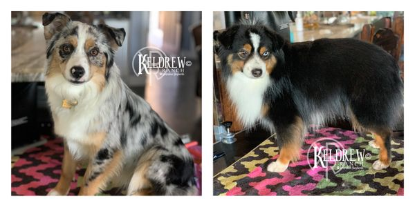 KELDREW RANCH MINIATURE & TOY PUPPIES FOR SALE PUPPIES AVAILABLE FUTURE PUPPIES EXPECTING