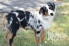 TIMBERLINE MUSTANG SALLI OF KELDREW RANCH Central Texas Miniature & Toy Aussies For Sale