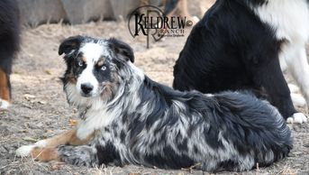 TIMBERLINE GREAT QUEEN NEFERATARI OF KELDREW RANCH Central Texas Miniature & Toy Aussies For Sale
