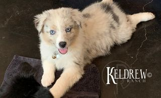 GUCCI OF KELDREW RANCH Central Texas Miniature & Toy Aussies For Sale
