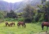 Wild horses in sacred Waipio Valley