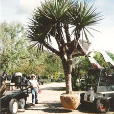 yucca , spanish dagger, San Antonio trees, Garcias Tree Sales yuccas