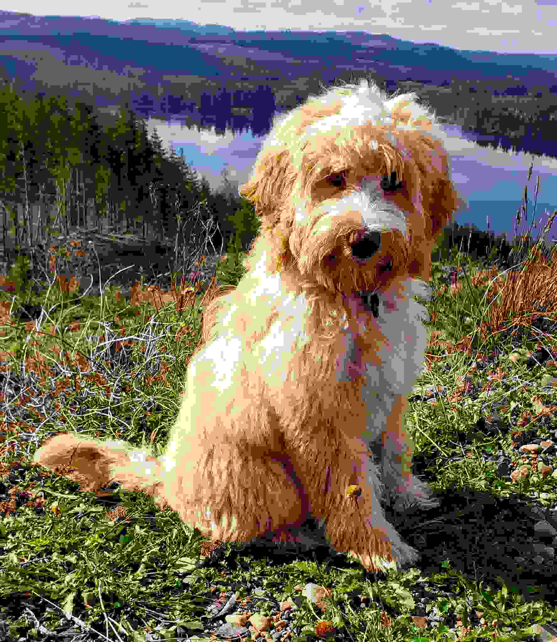 Discovery tails Labradoodles Washington Abigail