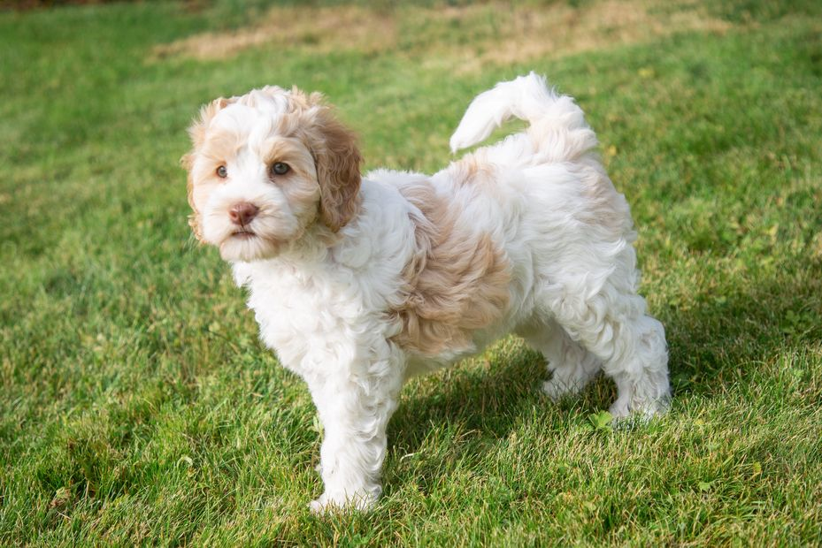 Apricot and White Parti Australian Labradoodle bred in WAshington on the Olympic Peninsula