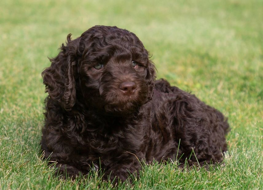 Dark Chocolate Australian Labradoodle bred in Washington going to a home in Tacoma