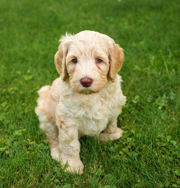 Caramel Australian Labradoodle going to a home in Sequim Washington puppies