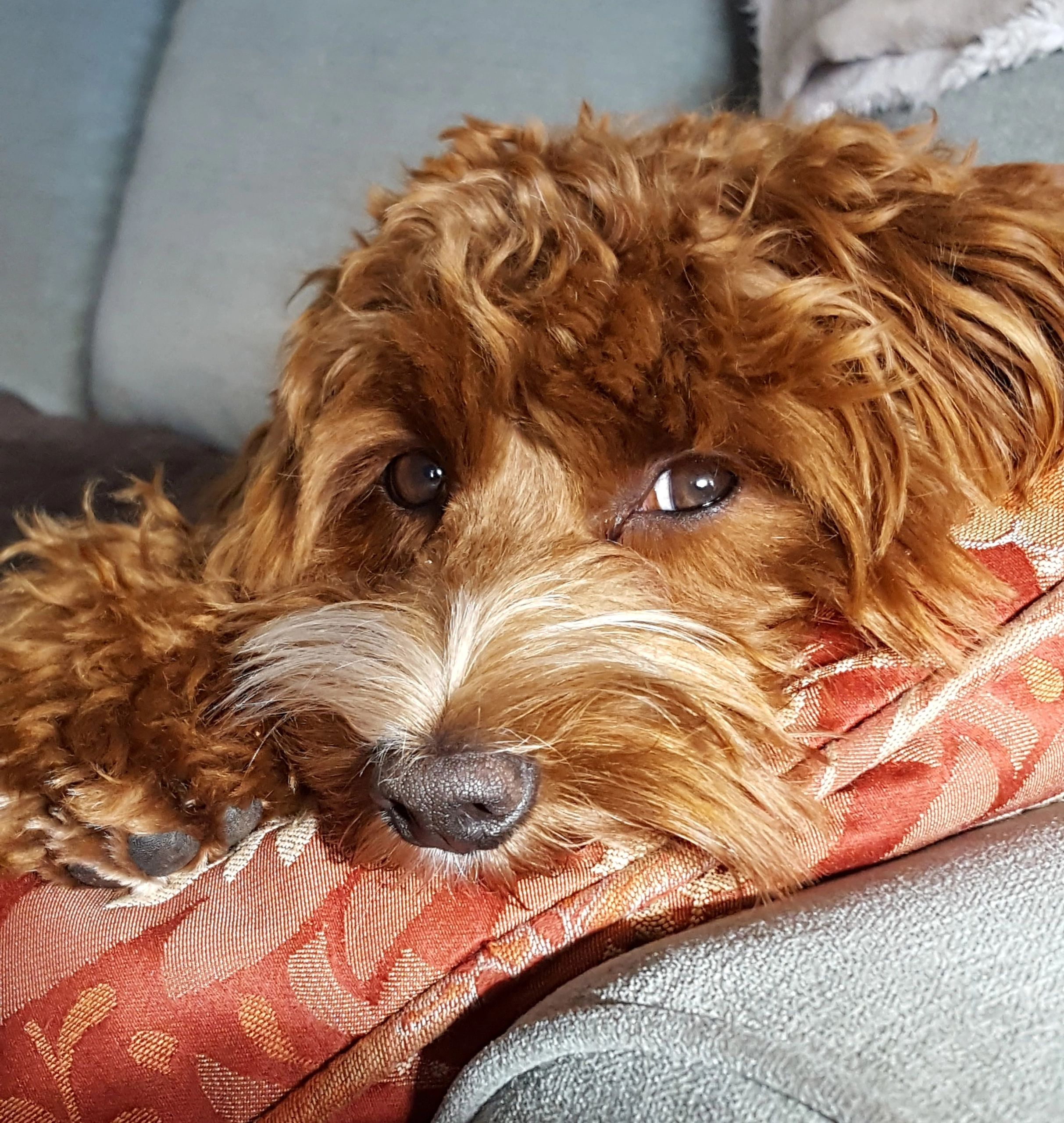 Red Australian Labradoodle Puppies Chocolate Labradoodle Puppies Tuxedo Labradoole Puppies