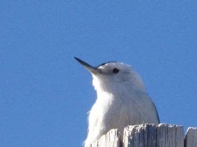 White-breasted Nuthatch and Colorado blue sky.