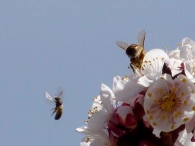 Bees amid April apricot blossoms at Colwell Cedars Retreat.