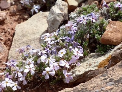 Pale pink phlox amid rocks along McCarty Trail in Dominguez-Escalante National Recreation Area.
