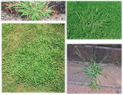 CRABGRASS, WEEDS, CRAB GRASS, GET RID OF CRABGRASS