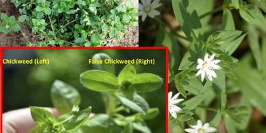 chickweed, weed with white flowers, edible weeds
