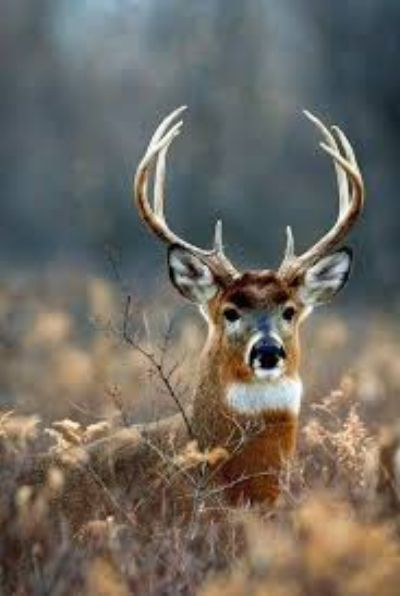 Kentucky trophy buck