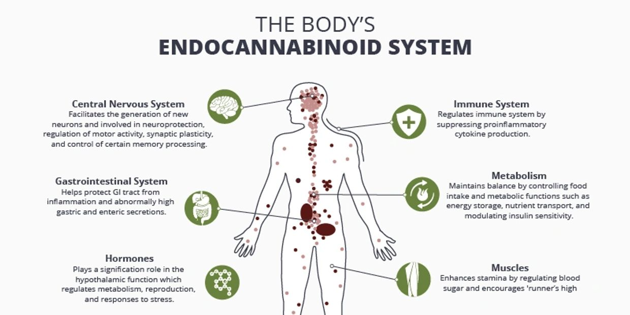 The Body's Endocannabinoid system and what CBD does to the body