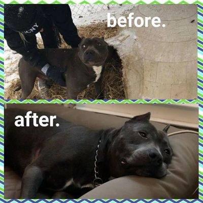 chained and neglected senior pit bull dog named face before and after rescue photo