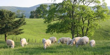 Grazing on Dabney Pasco farm, across rt 220 from the Bowen farm where our sheep are.