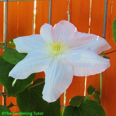 Large, bright white flower of Clematis hybrid 'Marie Boisselot'