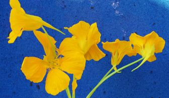 Bright yellow Nasturtium flowers with cobalt blue pottery background.