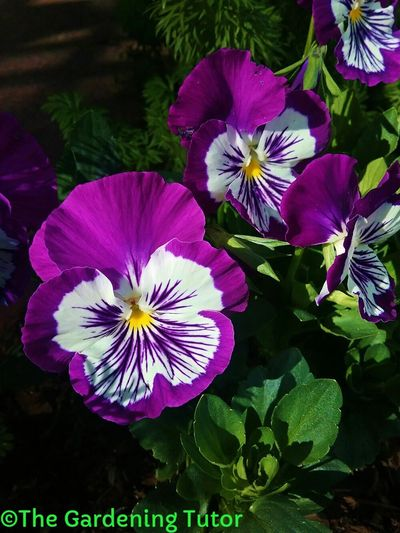 Pansy flowers with deep purple edges, purple veining in white face.