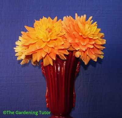 Burgundy red colored tall vase fill with big, fluffy flowers of orange and yellow dahlias
