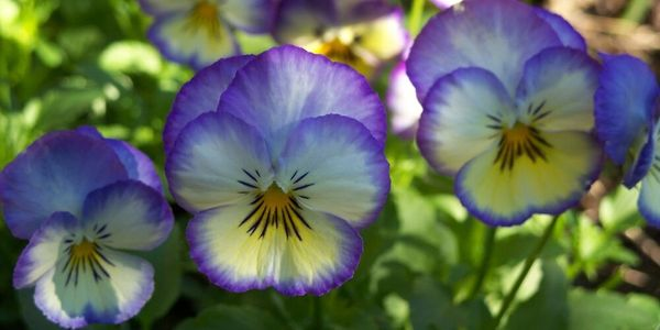 Three Pansy flowers with Pale yellow faces and deep lavender colored edges.