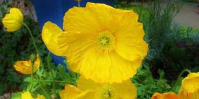 Bright yellow flowers of Iceland Poppies against cobalt blue, glazed potty container.