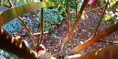 Looking down at the ground from inside a Camphor tree while pruning.