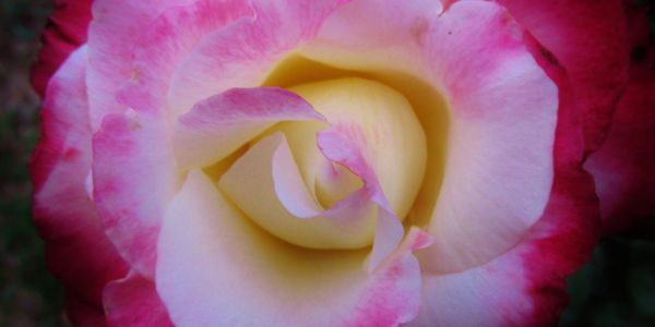 'Double Delight' rose is white with deep pink edges.