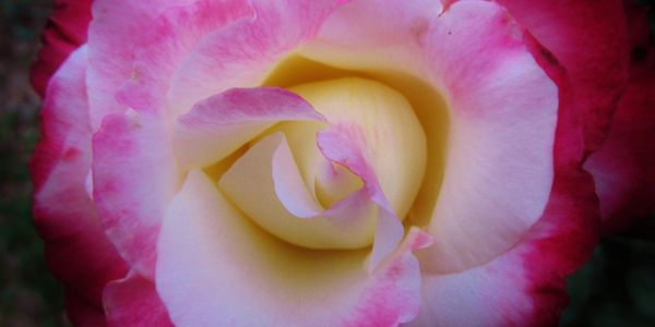 White rose flower with pink edges of 'Double Delight'