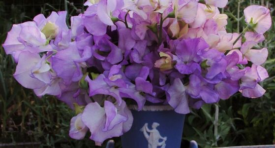 Blue vase of Sweetpeas in shades of lavender and purple.