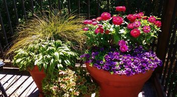 Grouping of terra cotta pots in various sizes filled with purple and pink flowers and yummy foliage.