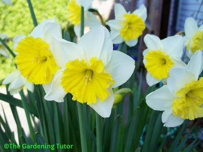 Tall stemmed, white daffodils with bright yellow centers.