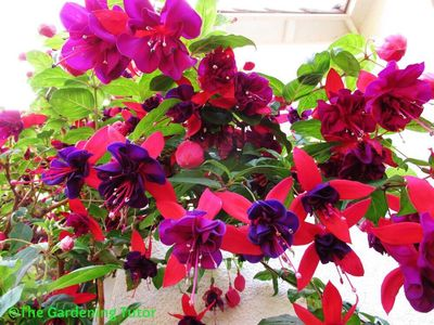 Looking up at dozens of pink hanging fuchsias with deep purple centers