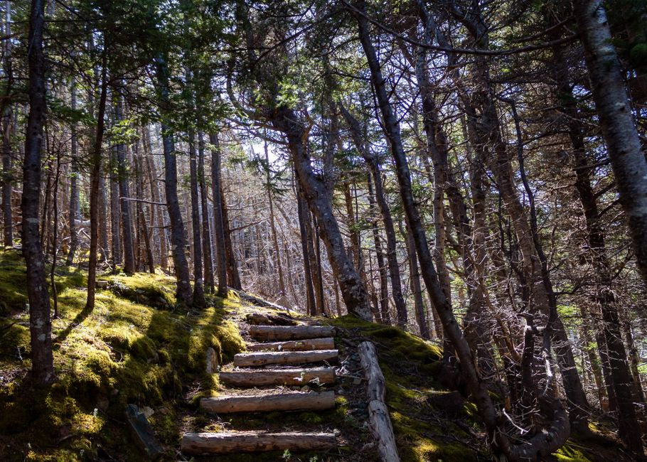 Logged stairs along a grassy bank leading to a forest clearing on East Coast Trail, Pouch Cove, NL