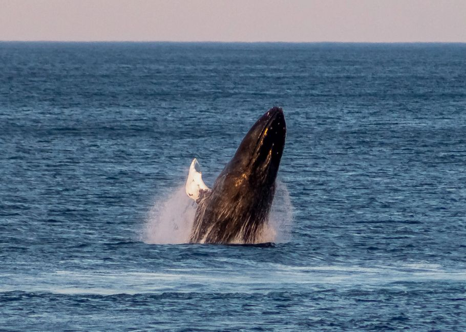 During a 4 day period in August '20, Pouch Cove had a couple of active pods of Humpback Whales visit