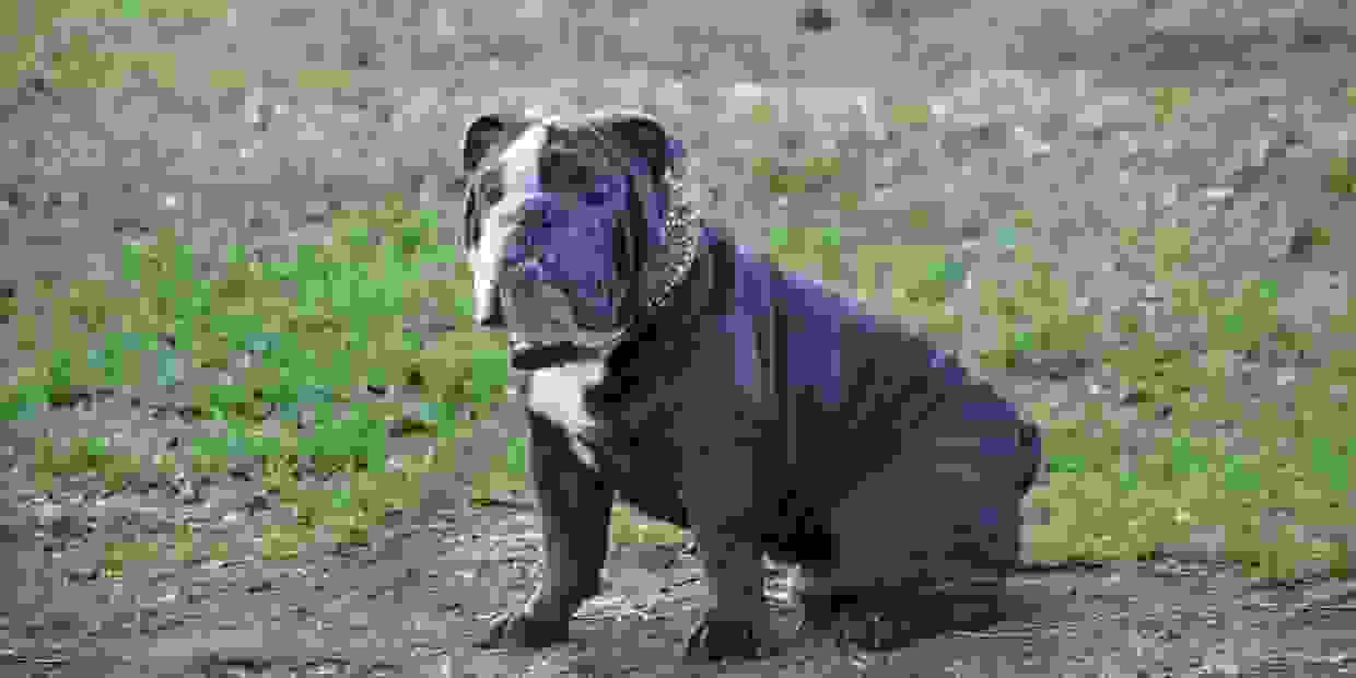 Azul Blue Seal English Bulldog Located in Florida  Health  and Color Tested