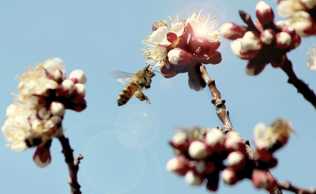 Apachula Photography- Save the Bees