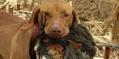 The Hunting Vizsla is a Hungrian pointing dog.  A medium sized, well muscled dog with a natural bred